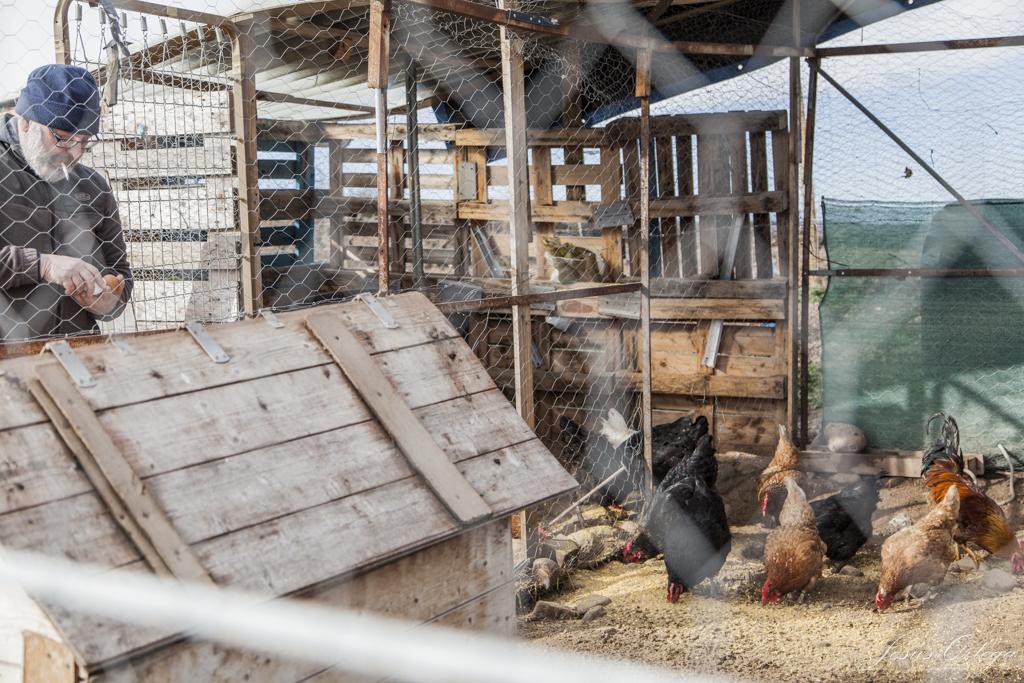 Cuidando de las gallinas